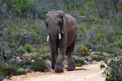 Male adult elephant in private game reserve safari in south africa royalty free stock image
