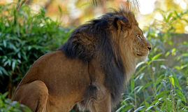 Male adult Lion. A large male lion (Panthera leo) sits in a small clearing of vegetation Stock Photos