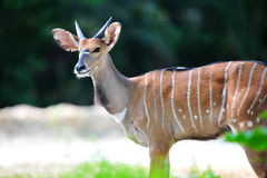Male adult Nyala in its habitat Royalty Free Stock Photo