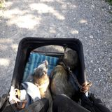 Male adult sable ferrets out in pet pram. Male sable ferrets out in their pram for evening walk stock images