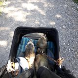 Male adult sable ferrets out in pet pram. Male sable ferrets out in their pram for evening walk stock photos