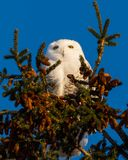 Snowy Owl on pine tree top in Winter stock images