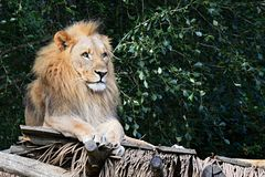 Male adult Southwes African Lion Panthera leo melanochaita relaxing on wooden shed. In ZOO exposition with largest african predators Stock Images