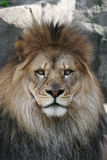 Male African. Intense stare of a male African Lion Royalty Free Stock Photo