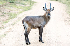 Male antelope - bush buck Stock Photo