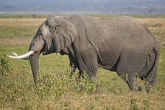 Male African Elephant. African elephant, male, Amboseli National Park, Kenya Royalty Free Stock Photo