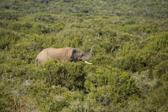 Male african elephant in the bush Stock Photos