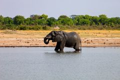 Male African elephant drinking in a waterhole Hwange , Zimbabwe Royalty Free Stock Image