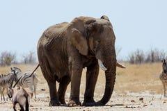 Male African elephant,  Etosha National Park, Stock Photos