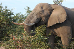 Male African elephant goes through the bushes Stock Photography