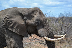 Male African Elephant Head Stock Photography
