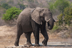 Male African elephant. With large tusks Royalty Free Stock Photo