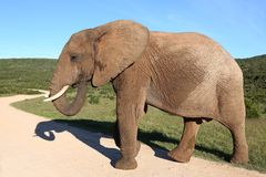 Male African Elephant Stock Image