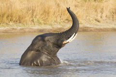 Male African Elephant (Loxodonta africana) swimming, South Afric Royalty Free Stock Photo