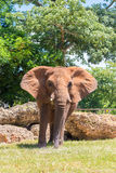 Male african elephant at the Miami Zoo Stock Images