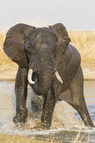 Male African Elephant splashing in water, South Africa Stock Photo