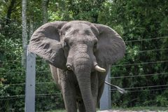 Free Male African Elephant Standing In Zoo. Stock Photo - 161292080