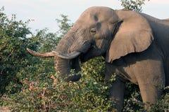 Male African elephant with tusks feeds on the shrub. Botswana Royalty Free Stock Photos