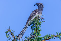 Male African Grey Hornbill - Tockus nasutus Royalty Free Stock Photo