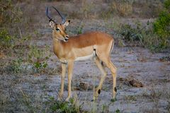 Male african impala with mouth open in the wild stock images