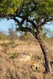 Leopard in tree defending the remains of his kill against a hyena. Male African Leopard Panthera pardus standing in tree next to the remains of his kill stock photo