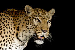 Male African Leopard, South Africa. Male African Leopard (Panthera pardus), at night, portrait, illuminated with flash light, South Africa Stock Images
