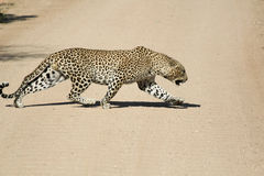 Male african leopard stalking Stock Images