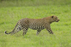Male African Leopard stalking in South Africa Royalty Free Stock Image