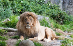 Male African Lion. A photograph depicts a resting male African lion Royalty Free Stock Image