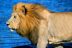 Male African Lion. African lion crossing a channel in the Delta Stock Photos