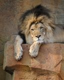 Male African lion Royalty Free Stock Photo