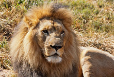 Male African Lion. With nice sidelighting. Lots of detail Royalty Free Stock Photography