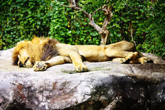 Male African Lion Royalty Free Stock Image