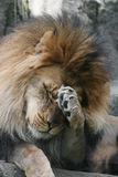 Male African Lion. Adult Male African Lion acting shy or bashful Royalty Free Stock Image