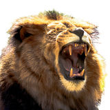 Male African lion baring his teeth - isolated Stock Photos