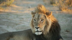 Male African lion stock video footage