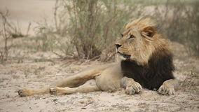 Male African lion stock footage