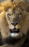 Male African lion close up portrait Stock Image