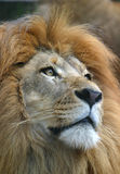Male African Lion Closeup stock photography