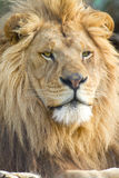 Male African Lion Face Stock Photo