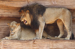 Male African Lion Growling at His Mate Royalty Free Stock Photos
