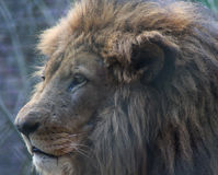 Male african lion head. Male lion standing by the lake on the grass. Foto taken in landgoed hoenderdaell Stock Image