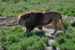 Male African lion on the hunt. Royalty Free Stock Photography