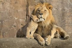 Free Male African Lion Is Cuddled By His Cub During An Affectionate Moment Stock Images - 112297564