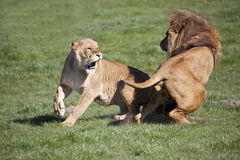 Male African Lion and Lioness interacting. A landscape view of a male African lion interacting with a lioness Stock Photos