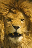 Male african lion with manes Royalty Free Stock Photo