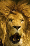 Male african lion with manes Stock Image
