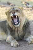 Male African Lion (Panthera leo) yawning, Botswana Royalty Free Stock Photography