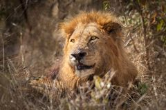 Male African Lion (Pathera leo) Royalty Free Stock Image