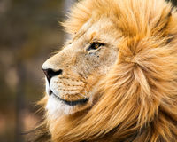 Male african lion. Portrait of male lion in Cape Town, South Africa Royalty Free Stock Images